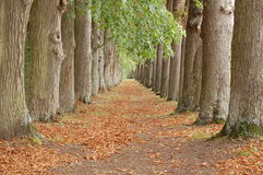 Perspectiva da aléia da árvore Foto de Stock Royalty Free