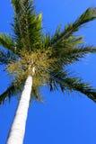 Perspectiva da palmeira Fotografia de Stock Royalty Free