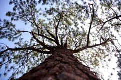 Perspectiva de diversos árboles de pino Fotografía de archivo