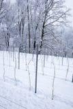 Perspectiva de la acción joven de la vid en un invierno Imagenes de archivo