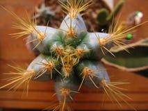 Perspectiva del cactus de la estrella Imagen de archivo