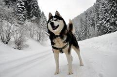 Perspectiva ronca Siberian do cão foto de stock royalty free