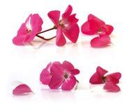Perspectiva rosada blanca del geranio, flores delicadas frescas y peta fotos de archivo libres de regalías