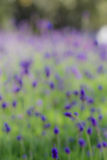 Perspective background with purple lavender Stock Photos