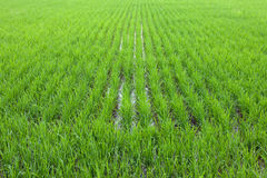 Perspective beautiful green rice field Stock Images