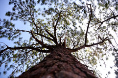 Perspective of different pine trees. And pine trees with branches spread Stock Photography