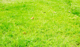 Perspective green grass texture background, Natural background Royalty Free Stock Photography
