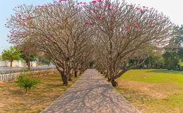 perspective image of Plumeria trees tunnel stock images