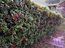 Perspective Ixora Bush Fence. Perspective Natural Ixora Bush Fence Royalty Free Stock Photo