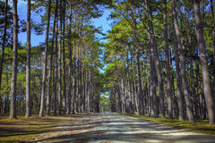 Perspective of pine wood in Boh Kaew foresty plantation in chiangmai northern of thailand stock images