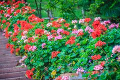 Perspective row of pink and red blooming geranium flowers on sid Stock Photos