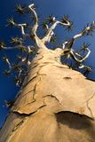 Perspective shot of quiver tree Stock Images