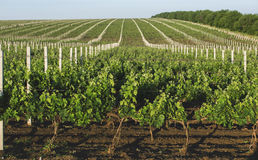 Perspective shot of a summer vineyard Stock Photography