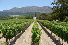 Perspective shot of vineyard near cape town, south africa Stock Photo