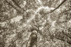 Perspective of a tree in vertical royalty free stock photo