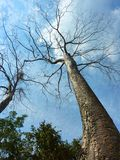 Perspective view of big tree in Cambodia Royalty Free Stock Photos