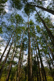 Perspective view of cypress trees looking up Stock Images