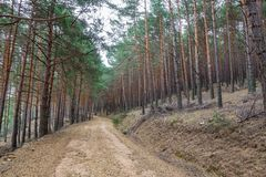 Pine tree forest and track Royalty Free Stock Photo