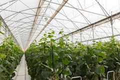 Perspective view of railway in cucumber greenhouse Royalty Free Stock Images