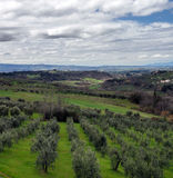 Perspective view to olive fields royalty free stock image