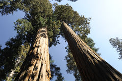 Perspective view of two giant sequoia trees Royalty Free Stock Images