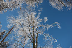 Perspective view of winter forest. Winter. Frosted crown of trees with clear blue sky. Perspective view of winter forest Stock Photo