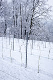 Perspective of young vine stocks in a winter Stock Images