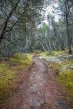 Perspektiv av att gå slingan i en pinjeskog Royaltyfri Fotografi