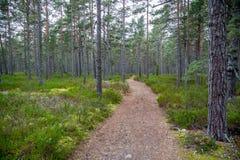 Perspektiv av att gå slingan i en pinjeskog Royaltyfria Bilder