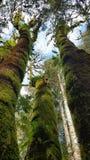 Perspektive von hohen moosigen grünen Bäumen Lizenzfreies Stockfoto