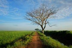 Perspektivenansicht des nahe gelegenen Reisfelds der kleinen Straße und des toten Baums mit drastischen Wolken stockfotos
