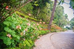 Perspektivenreihe der rosa und des Rotes blühenden Pelargonie blüht auf SID Stockfotografie