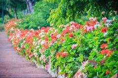 Perspektivenreihe der rosa und des Rotes blühenden Pelargonie blüht auf SID Stockfoto