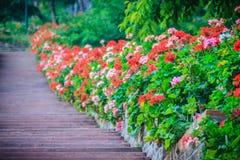 Perspektivenreihe der rosa und des Rotes blühenden Pelargonie blüht auf SID Stockbild