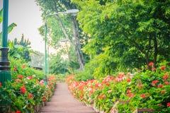 Perspektivenreihe der rosa und des Rotes blühenden Pelargonie blüht auf SID Lizenzfreie Stockfotografie