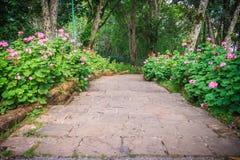 Perspektivenreihe der rosa und des Rotes blühenden Pelargonie blüht auf SID Lizenzfreies Stockbild