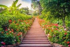 Perspektivenreihe der rosa und des Rotes blühenden Pelargonie blüht auf SID Stockbilder