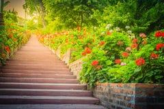 Perspektivenreihe der rosa und des Rotes blühenden Pelargonie blüht auf SID Lizenzfreie Stockbilder