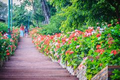 Perspektivenreihe der rosa und des Rotes blühenden Pelargonie blüht auf SID Lizenzfreies Stockfoto