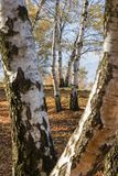 Perspektivsikt av silverbjörkträd i en bergskog royaltyfria bilder
