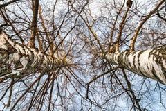 Perspektivvintersikt som ser upp mellan två högväxta träd för vit björk med himlen som bakgrund royaltyfria bilder
