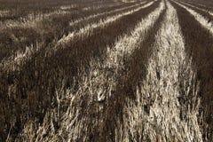 Perspektywa rolni ryż Zdjęcie Stock