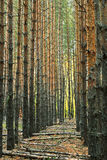 Perspektywicznej alei pionowo bagażniki sosny w lesie Fotografia Stock