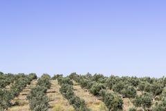 Perspektywiczny szeroki strzał drzewa oliwne na otwartym wzgórzu przy Izmir w Seferihisar zdjęcie royalty free