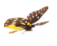 Perspicua di sanaca di delias della farfalla Fotografia Stock