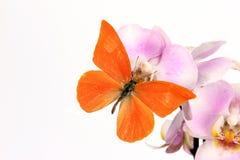 Perspicua di zarinda di zarinda di Appias della farfalla Fotografia Stock