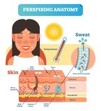 Perspiring Anatomical Skin Cross Section Vector Illustration Diagram with Sweat Secreting Cells. Perspiring Anatomical Human Skin Layers Cross Section Vector Royalty Free Stock Photography