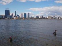 Perth västra Australien med svarta svanar på floden Royaltyfri Foto