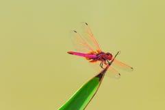 Libellula (Dropwing cremisi) Fotografie Stock