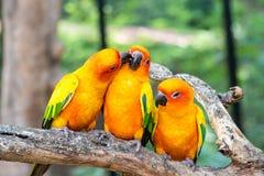 Pertica dell'uccello di conuro di tre soli nel ramo di legno in foresta Immagine Stock Libera da Diritti